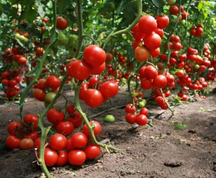 Повышение урожайности томатов