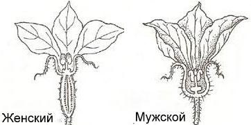Мужской и женский цветок у огурца