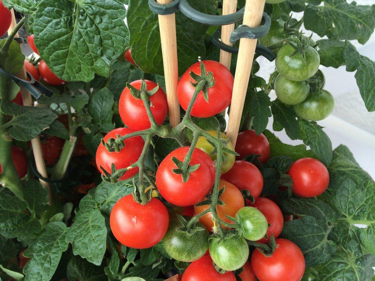 Как вырастить многолетние томаты самостоятельно