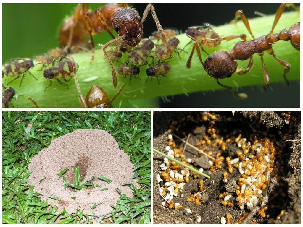 Польза муравьев для сада