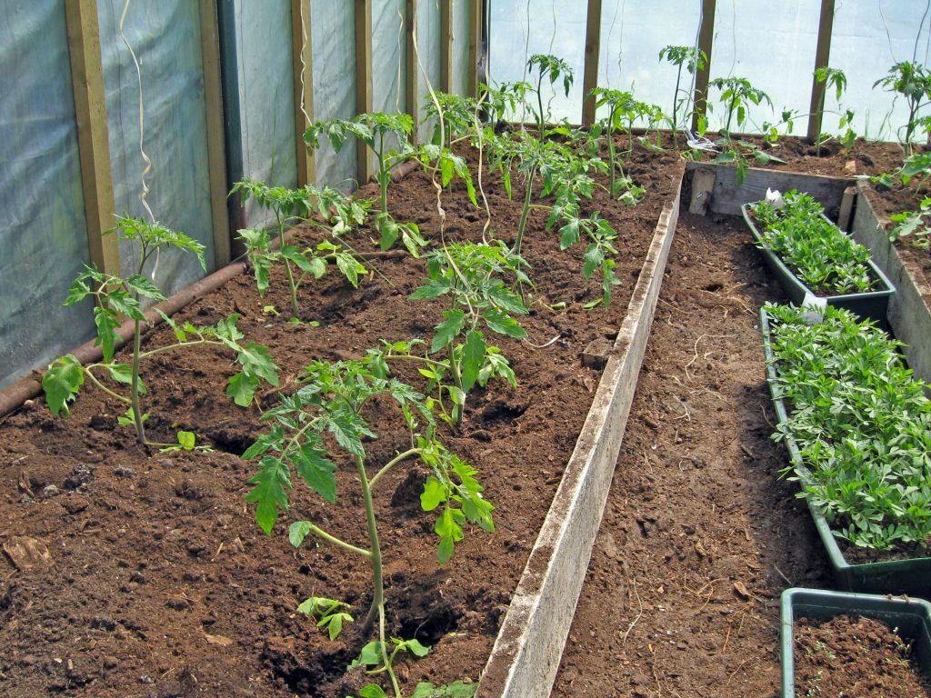 Когда сажать помидоры на рассаду