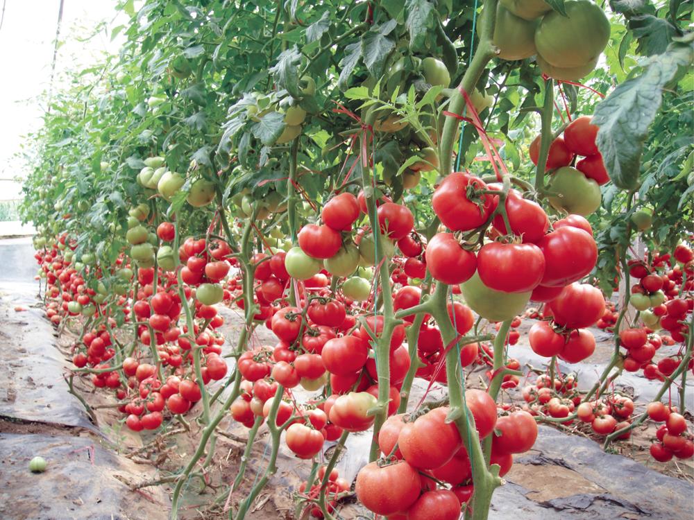 Когда сажать помидоры