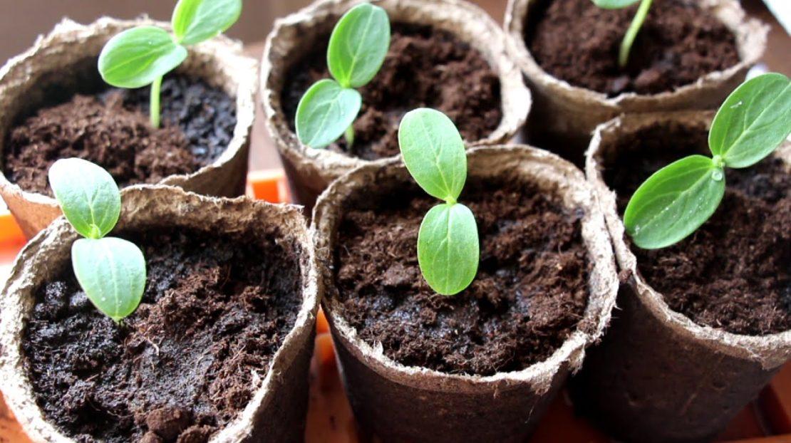 какого возраста рассаду огурцов высаживают в теплицу