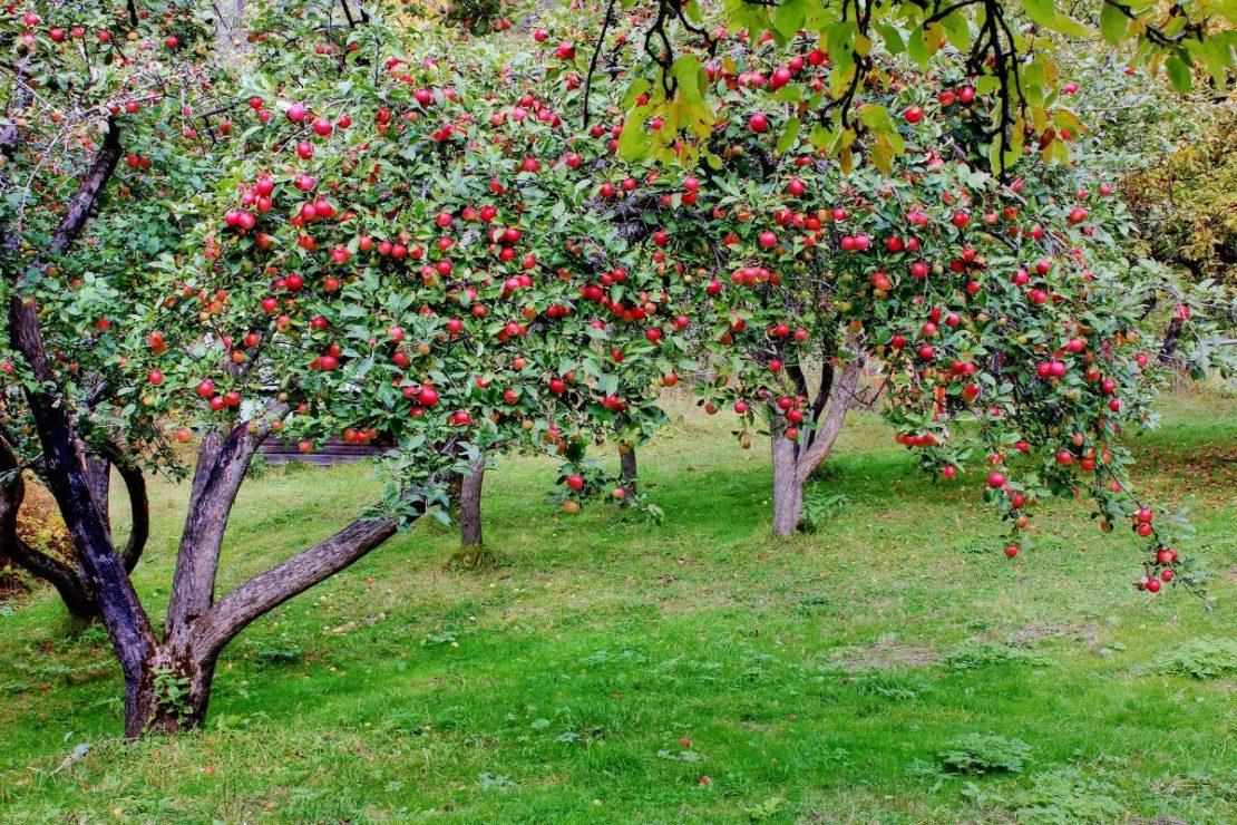 Лучшие сорта яблонь для России