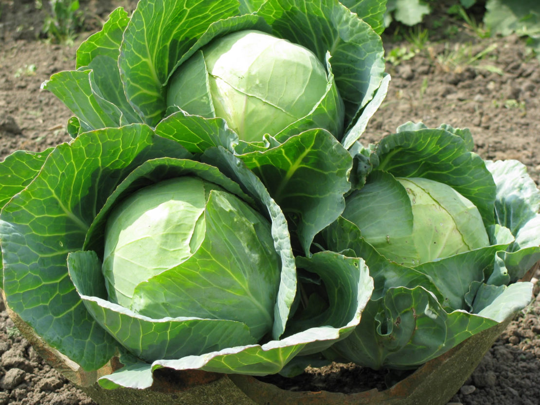 Как получить хороший урожай капусты