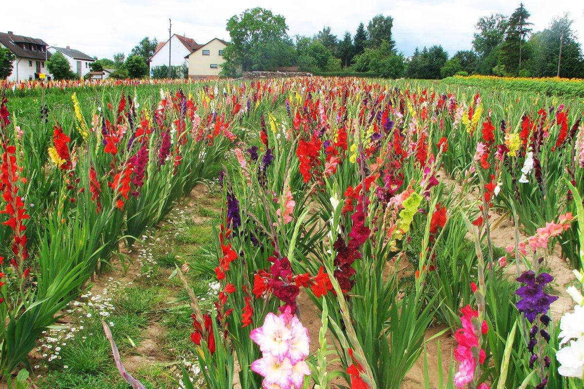 Как и когда сажать гладиолусы в открытый грунт весной?