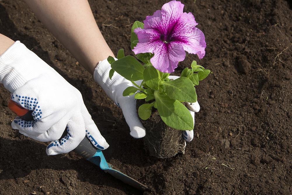 Когда сажать семена петунии на рассаду?