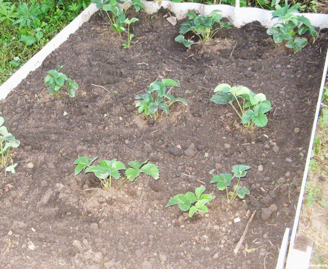Когда высаживать клубнику в открытый грунт