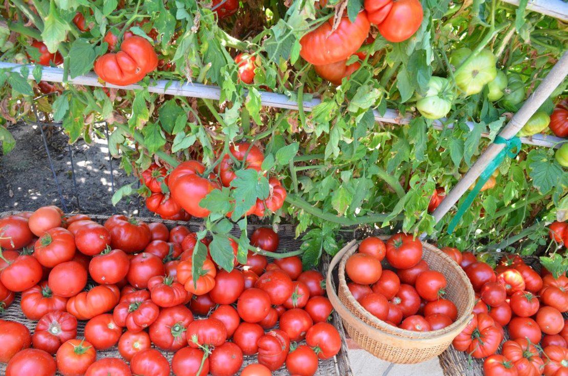 Как приготовить аспириновый раствор для помидор
