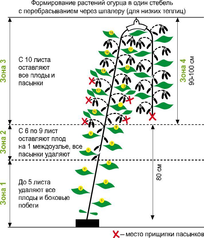 Как вырастить огурцы в открытом грунте и посадка семенами