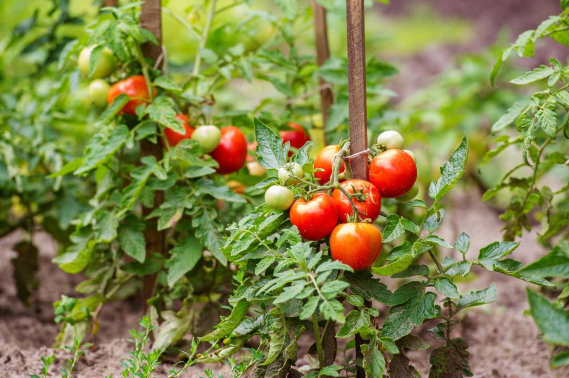 Инструкция по обработке томатов