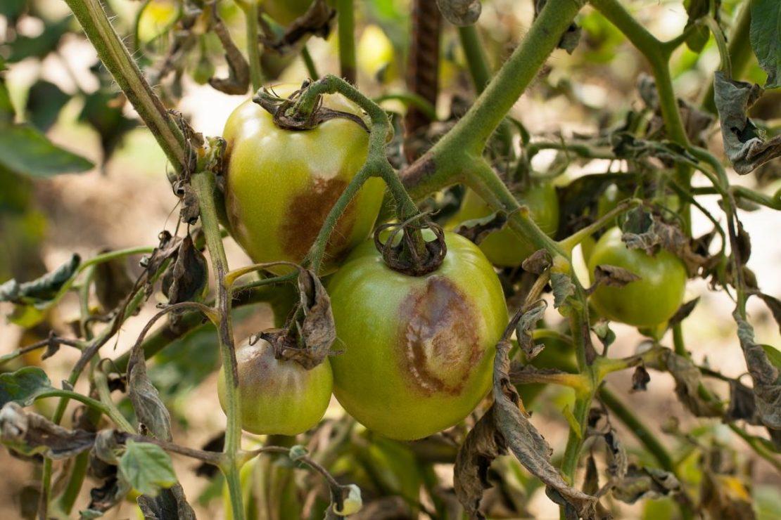 Применение при фитофторозе томатов