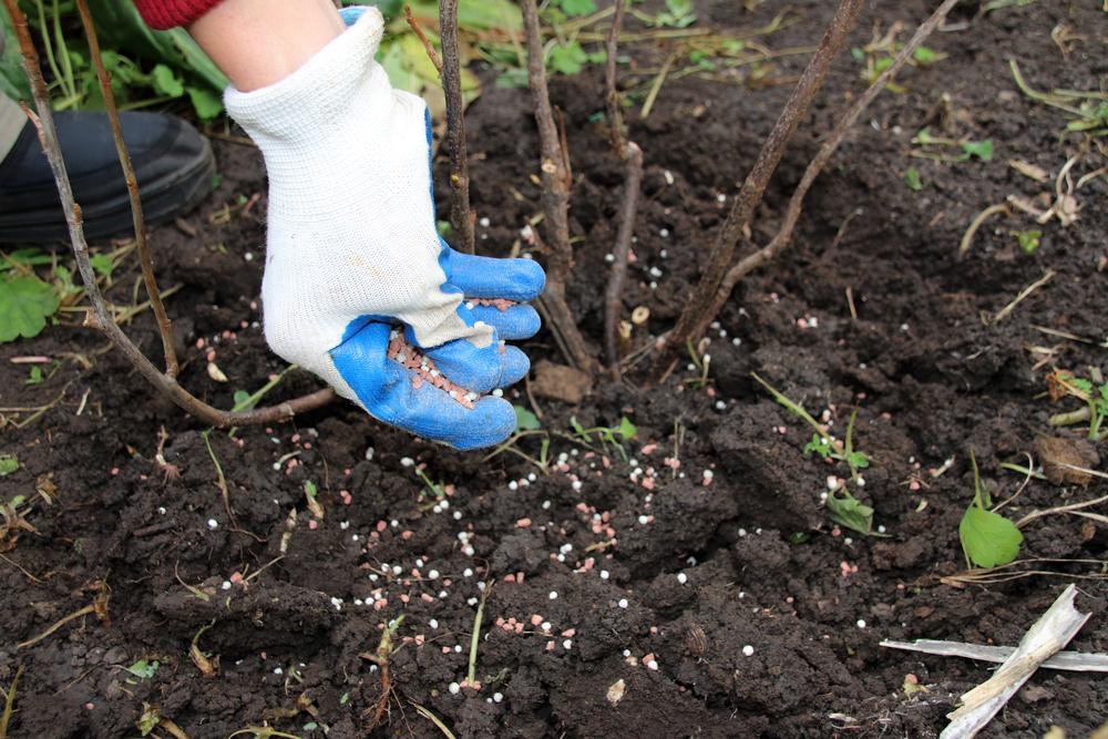 Азотсодержащие удобрения и двойной суперфосфат для малины