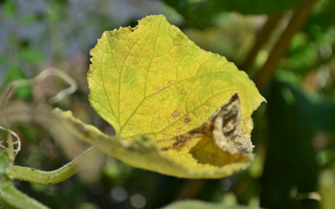 Сода от пожелтения листвы огурцов