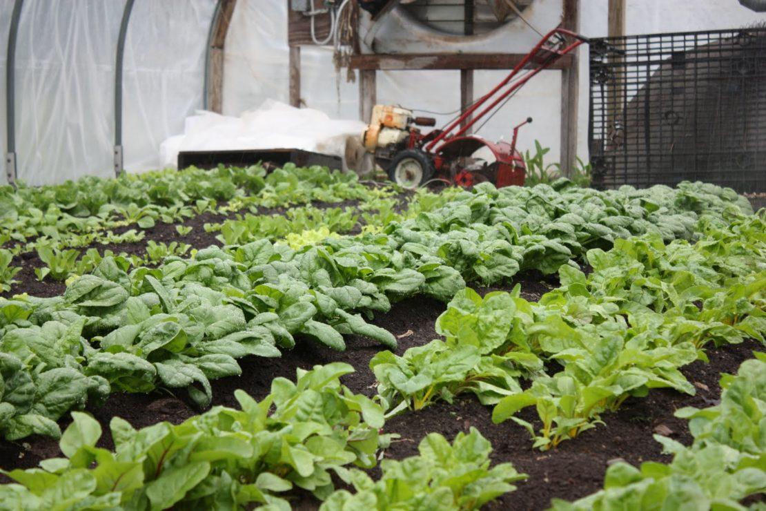 Выращивание шпината в парнике
