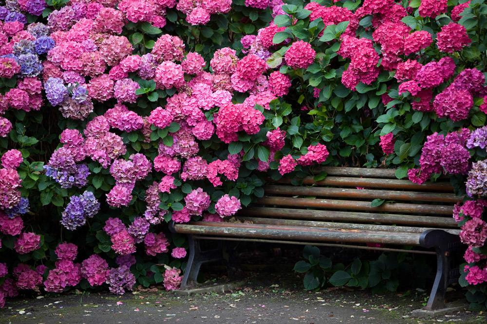 Подкормка гортензии для пышного цветения