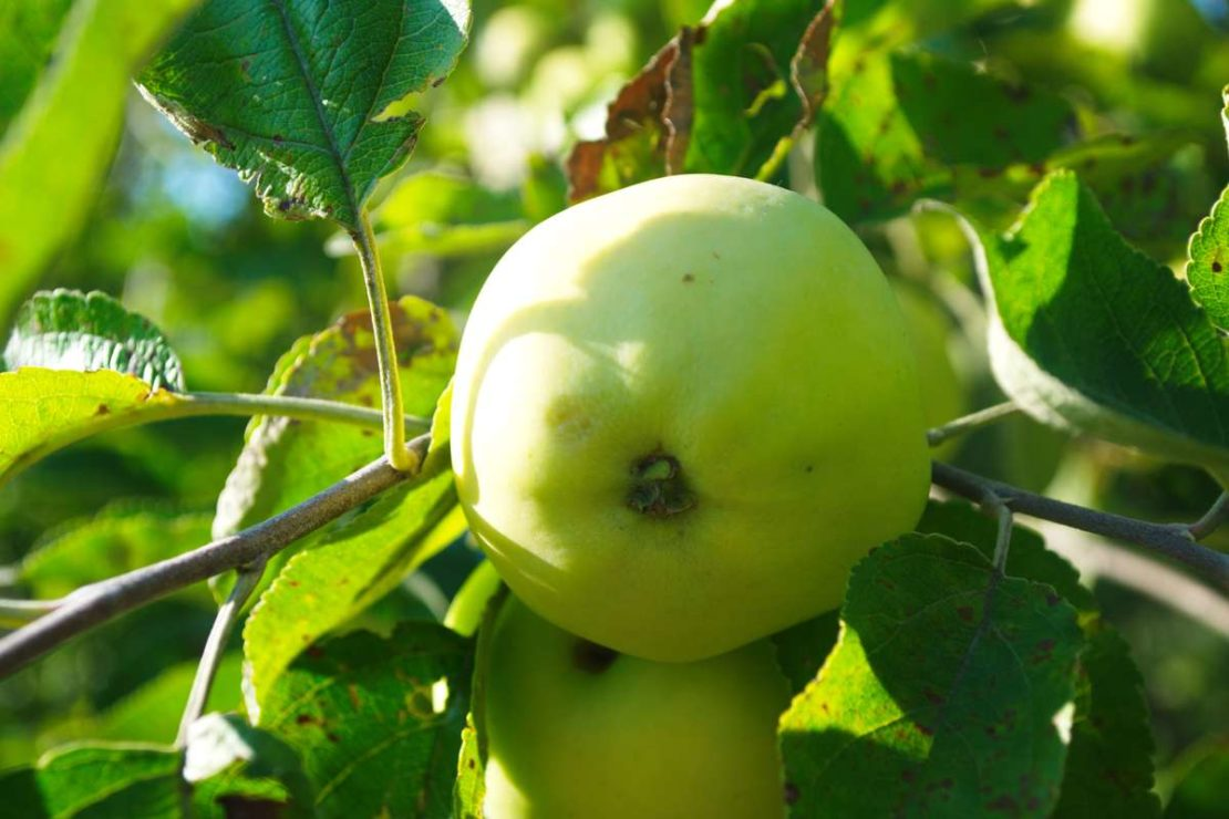 Сорт яблок Папировка