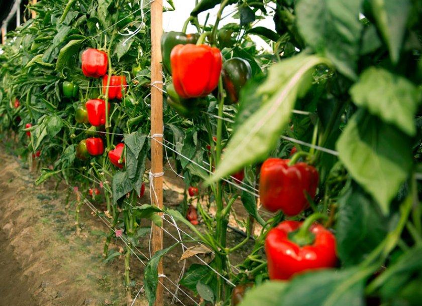 Как высадить рассаду в теплицу и открытый грунт?
