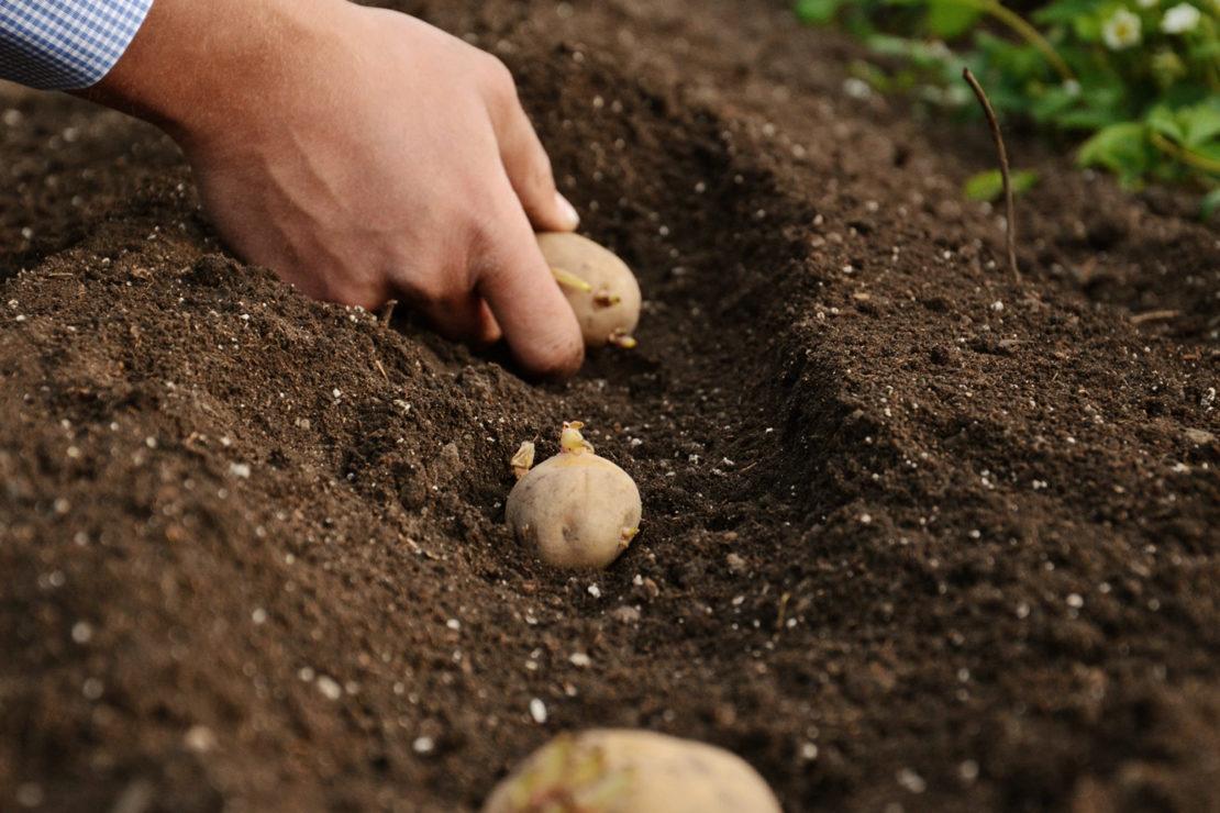 Особенности подкормки и что влияет на урожайность картофеля