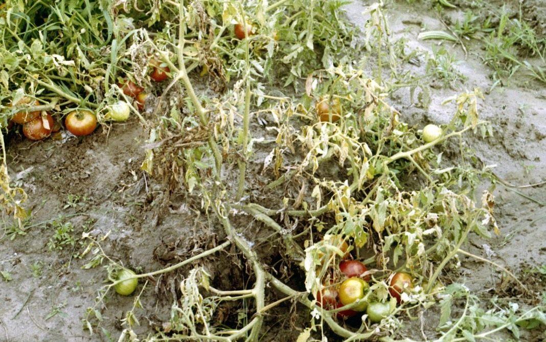 Опасность земляных крыс для урожая