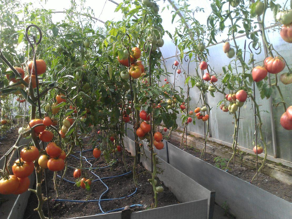 Последствия летней жары для томатов