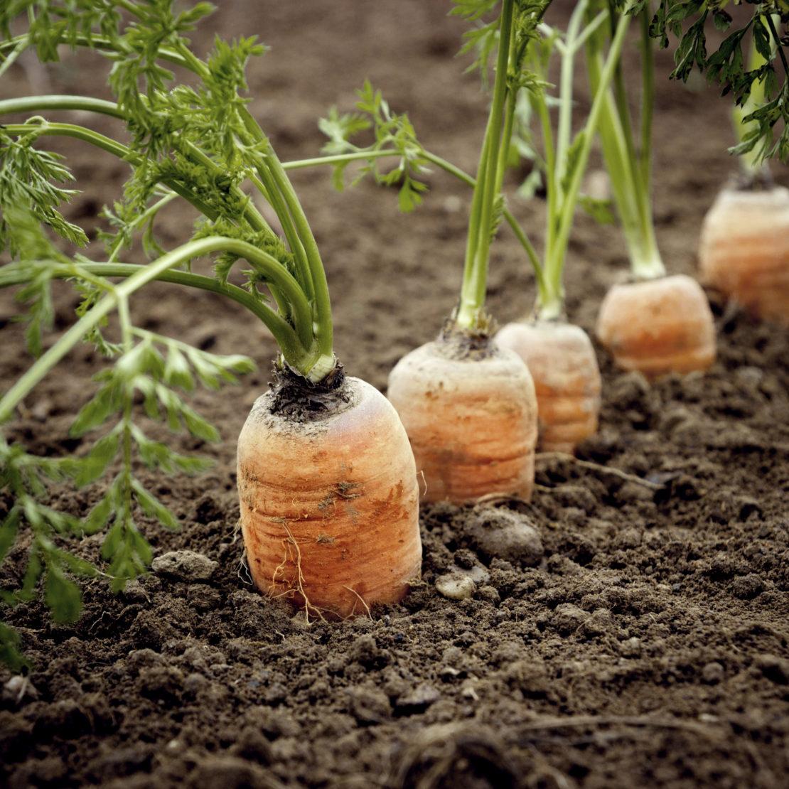 Посадка моркови без прореживания