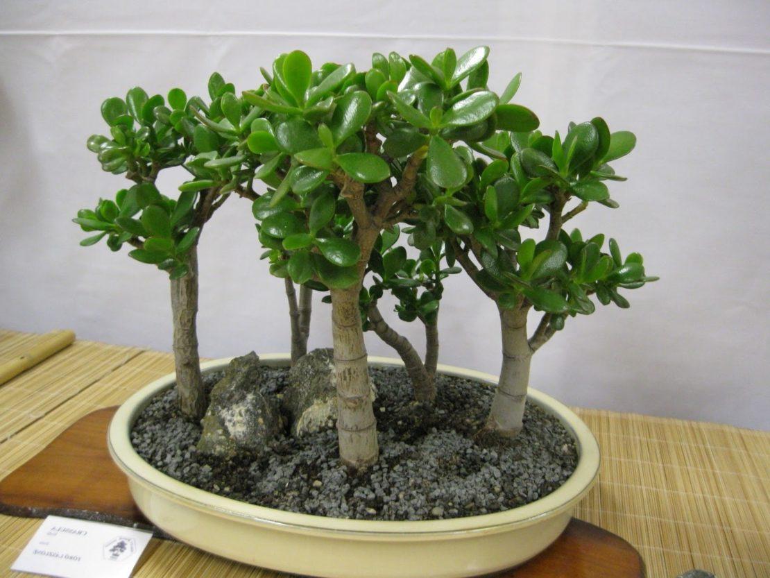 Денежное дерево-бонсай