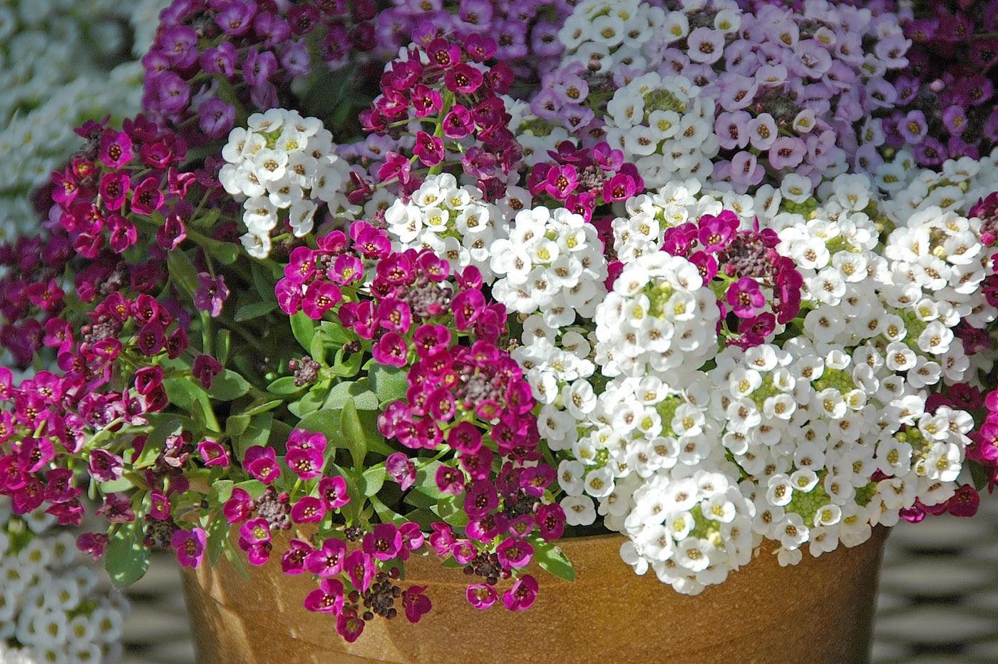 этом цветы однолетники цветущие все лето картинки собак имеет только