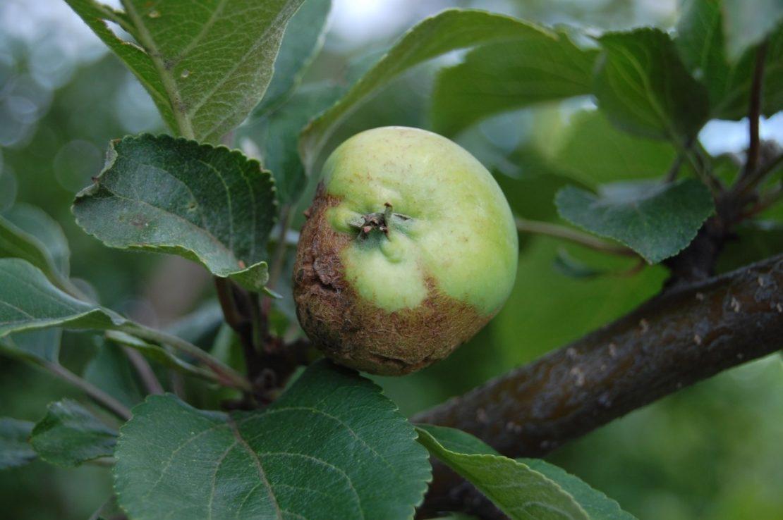 Как увидеть признаки поражения на яблоне