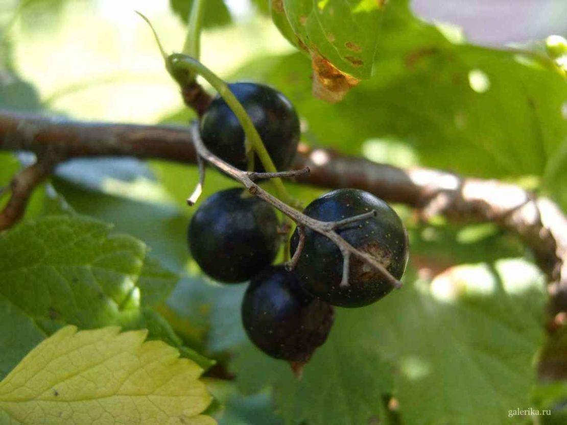 Наилучшие условия для плодоношения кустов