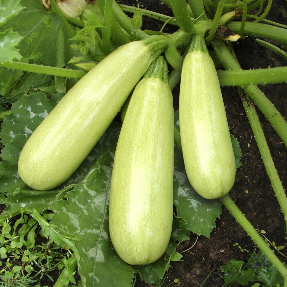 любисток как выращивать в открытом грунте