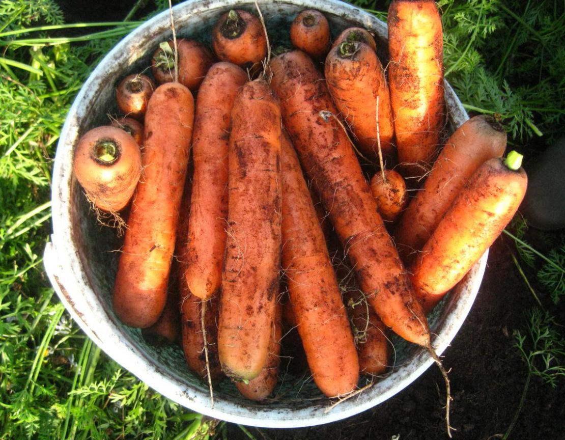 Правильный уход за морковкой для хорошего урожая