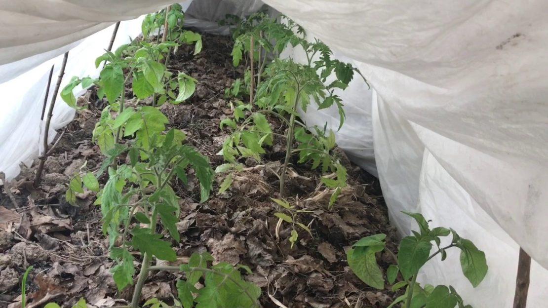 Защита урожая от заморозков посредством полива