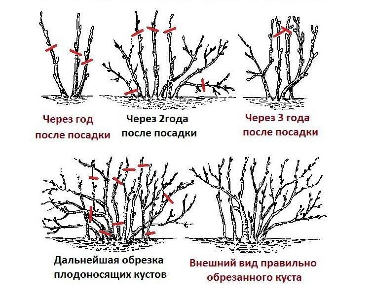 Обрезка косточковых деревьев и кустарников