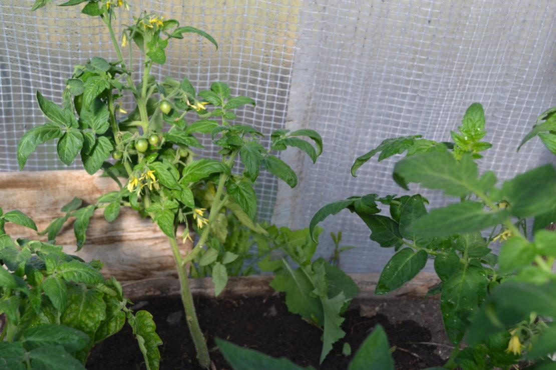 Обрывание листьев у томатов