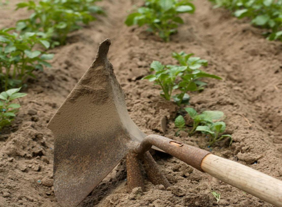 Так ли необходимо окучивать картофель?