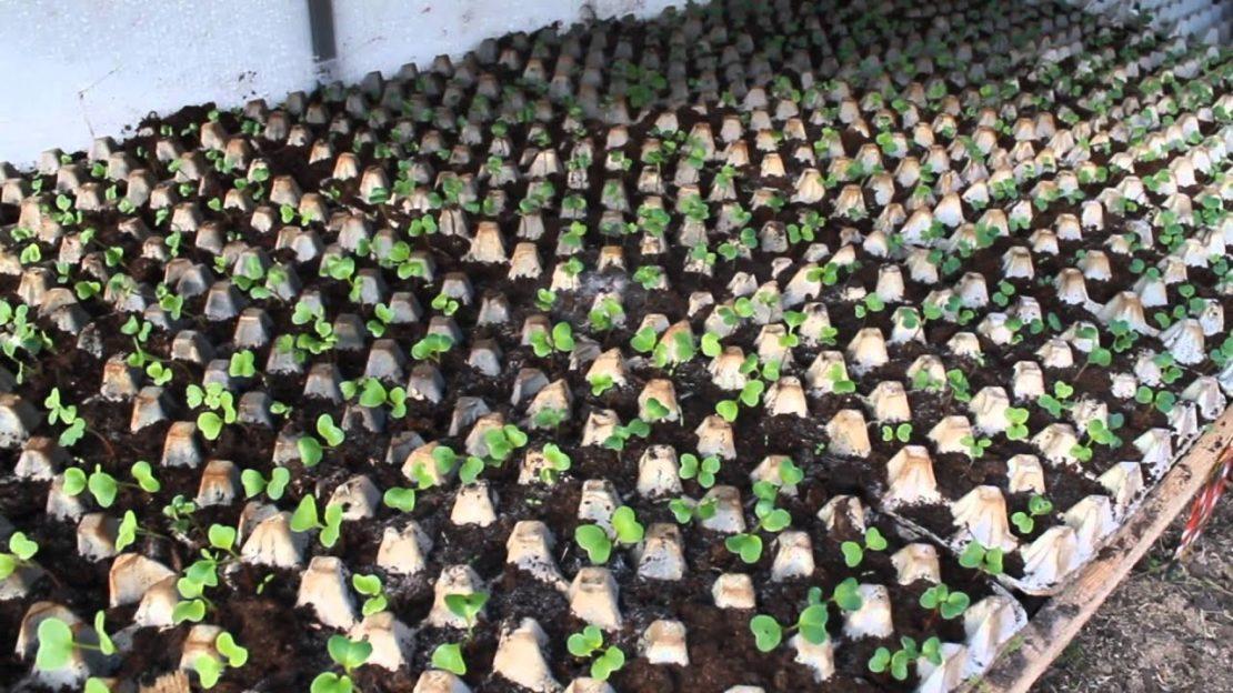 Выращивание рассады в яичных лотках