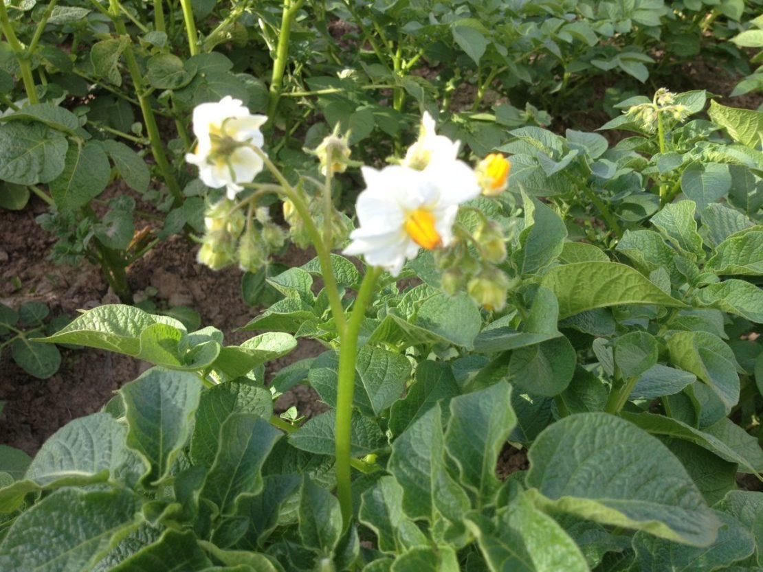 Польза и вред обрывания цветков у картофеля