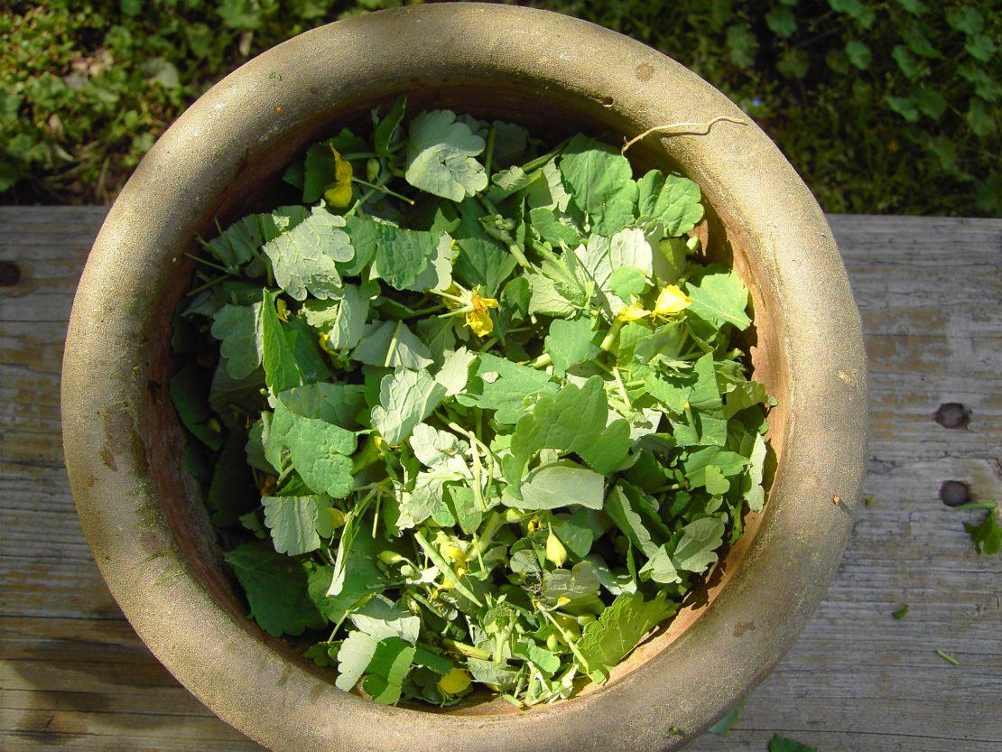 Как еще применять чистотел для устранения вредителей в саду
