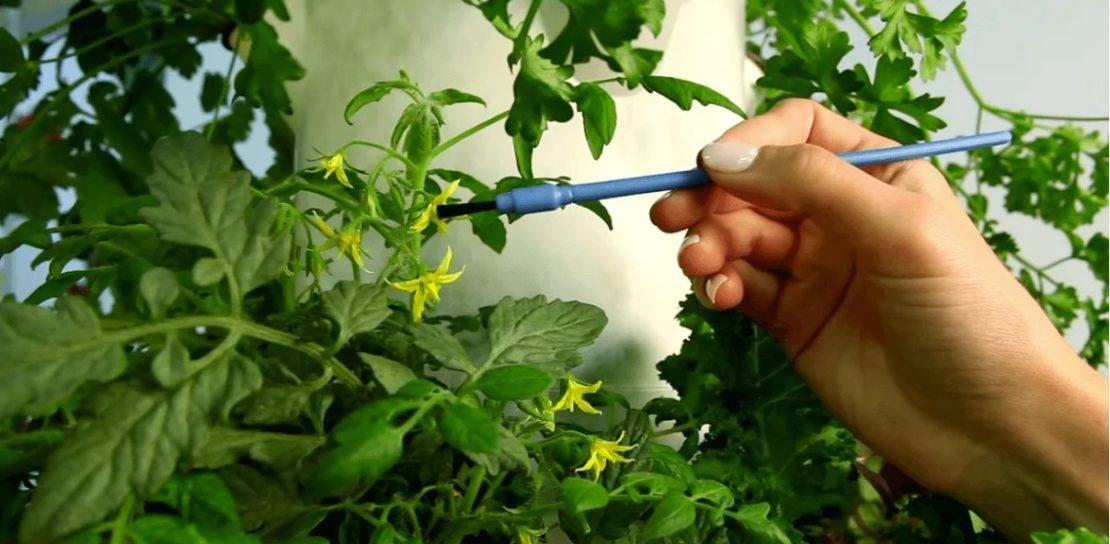 Опыление помидоров
