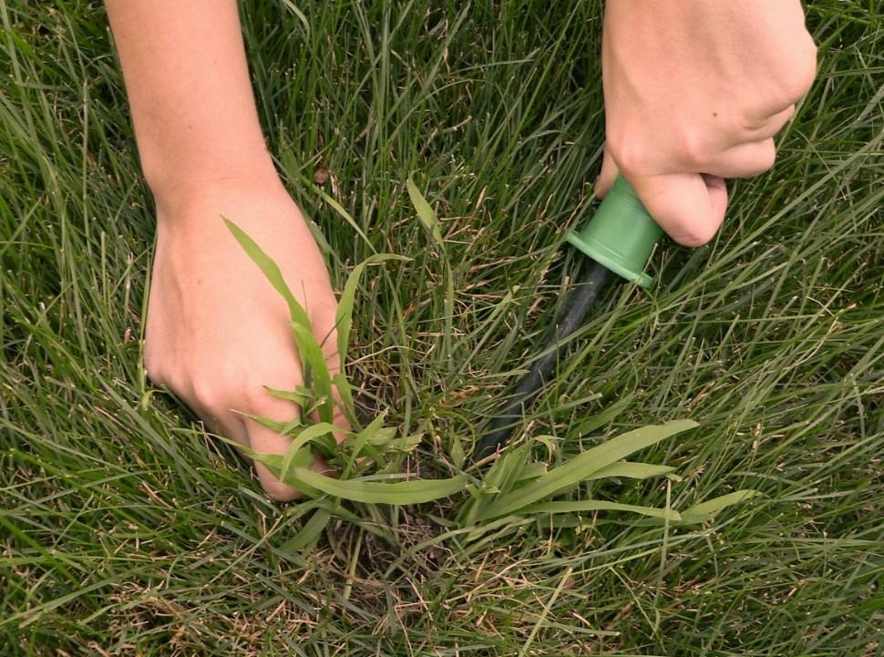 Вред пырея для урожая