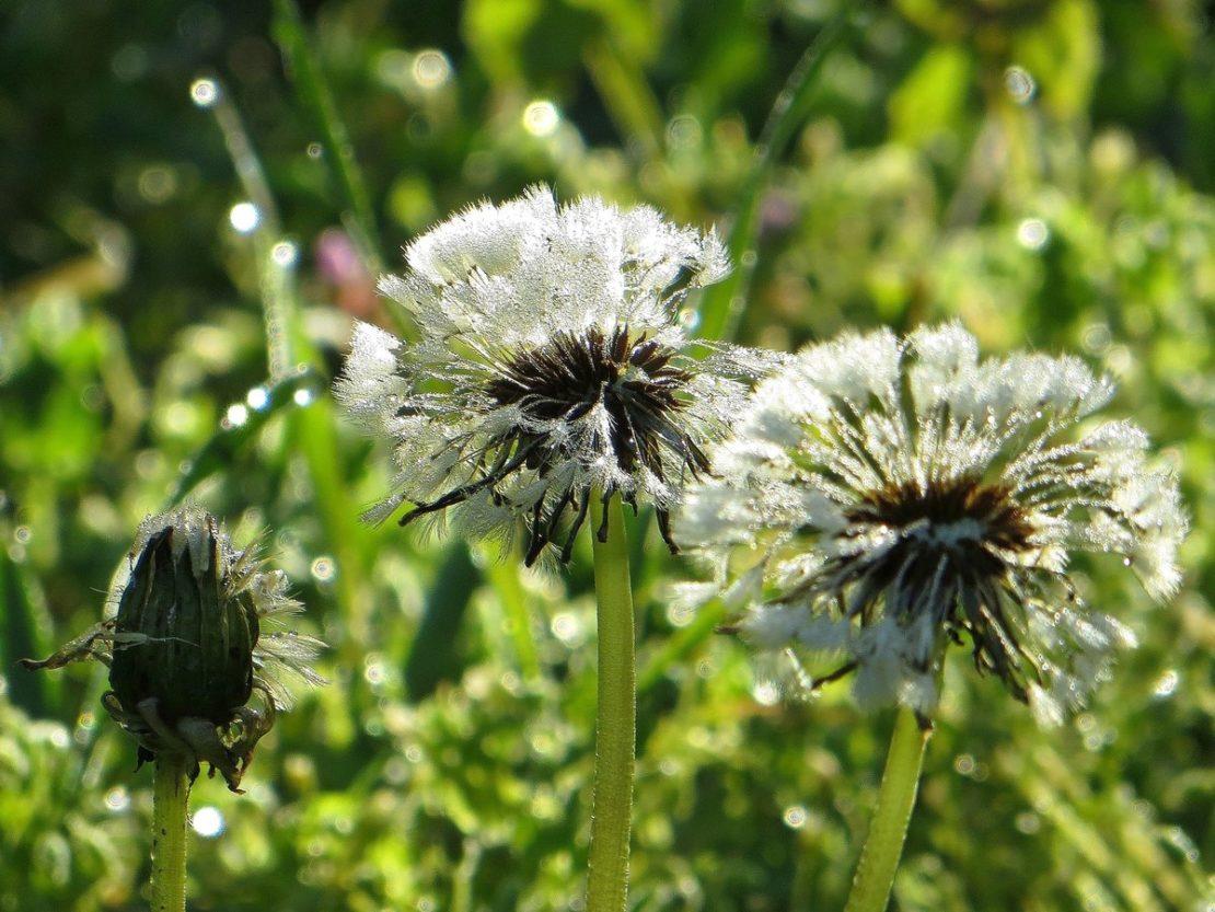Польза одуванчиков для огорода и урожая