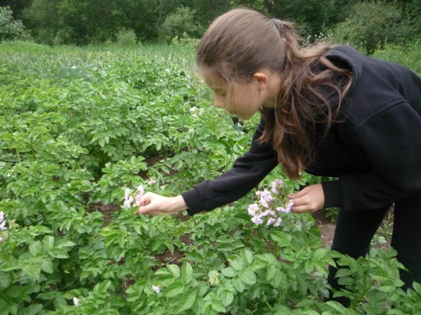 Особенности развития кустов картофеля