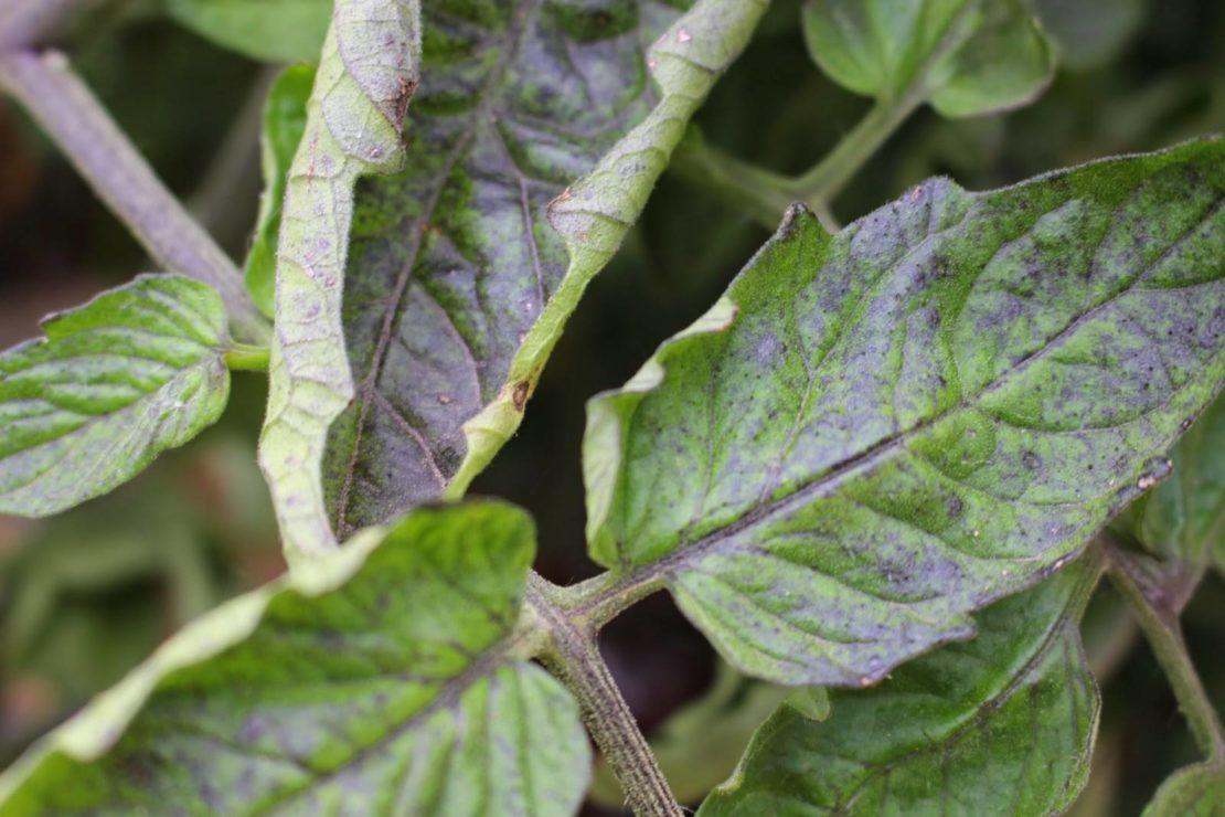 Причины появления свернутых листиков у рассады
