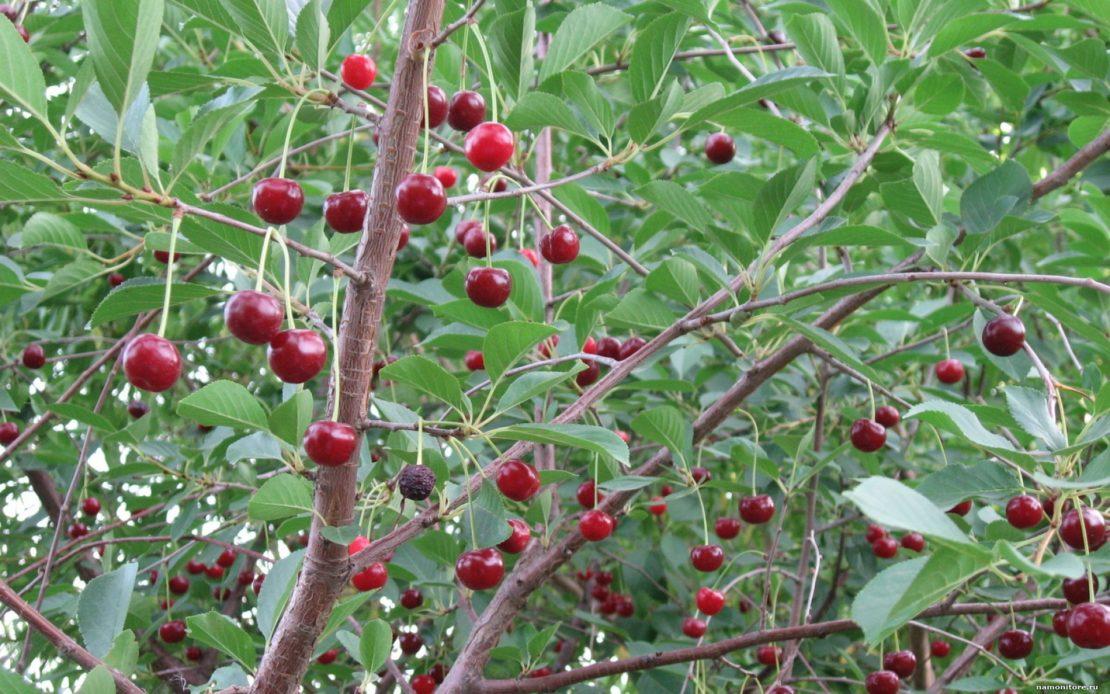 Почему не плодоносит вишня и не дает урожай