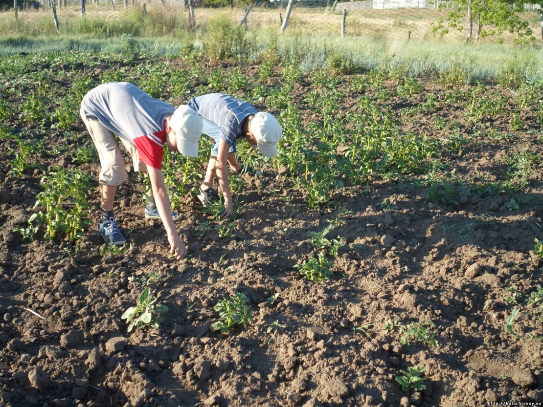 Подготовка картофеля к окучиванию