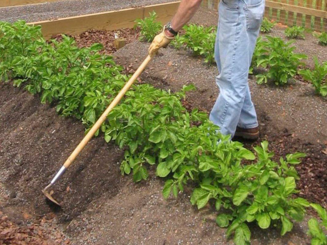 Рекомендации по правильному окучиванию картошки
