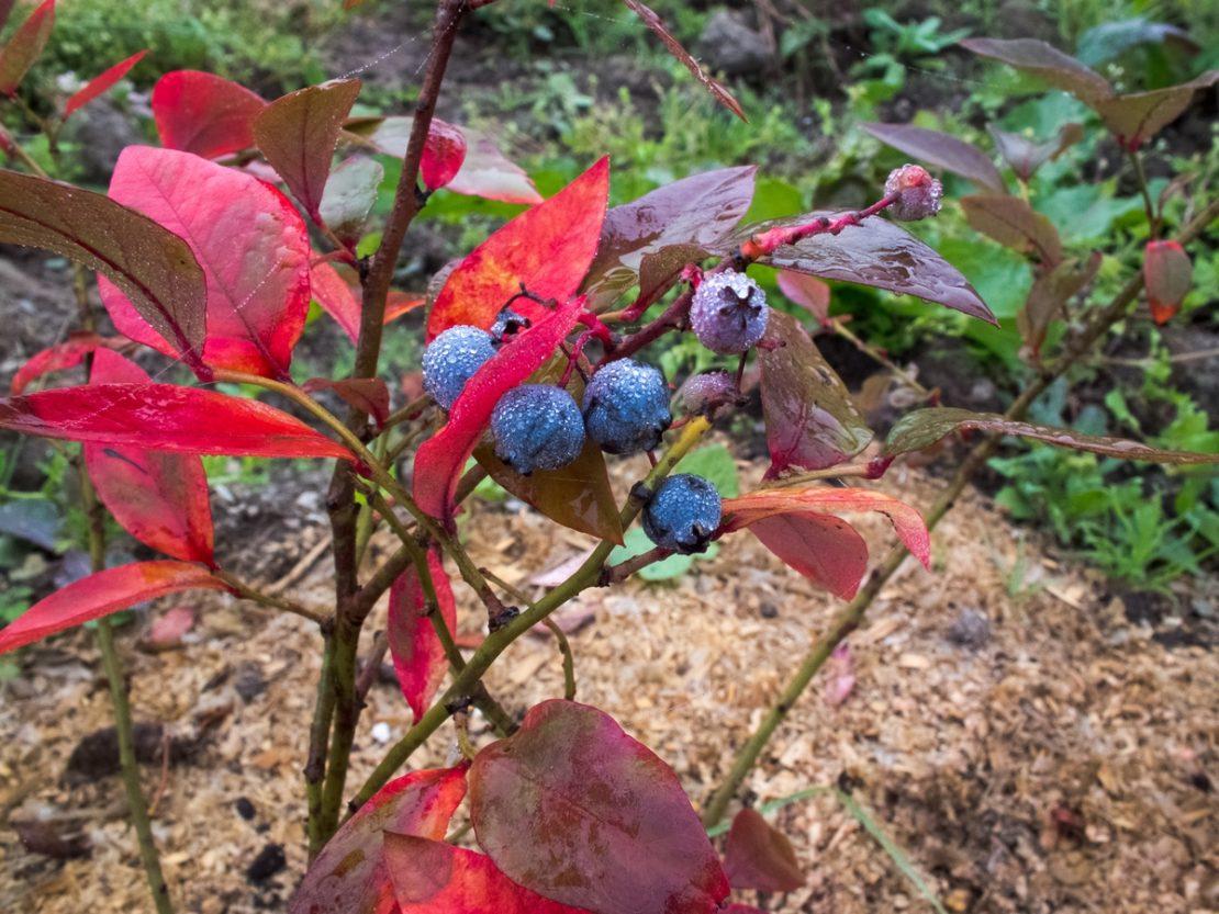 на голубике краснеют листья