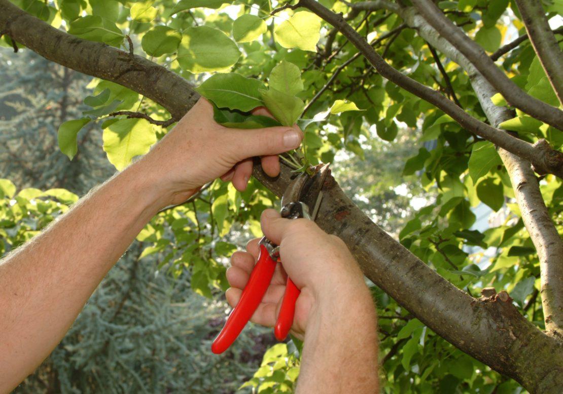 обрезка плодовых деревьев в летом