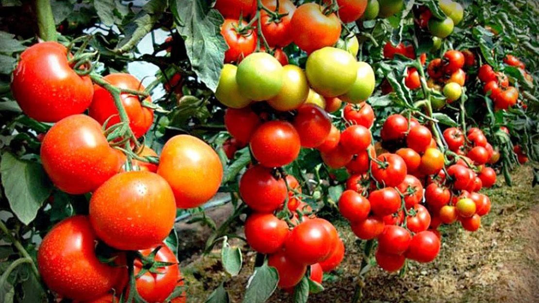 резерв урожайности томатов